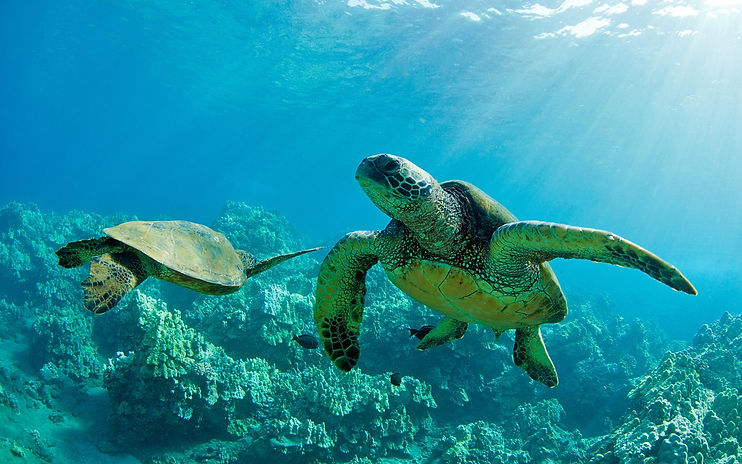 Two-Green-Sea-Turtles-underwater-coral-r