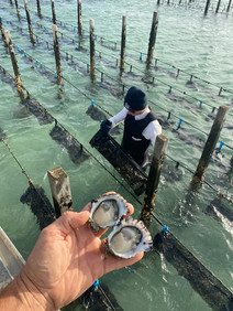 Checking the condition of our oysters
