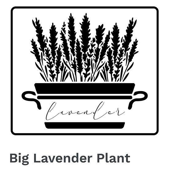 Big Lavender Plant