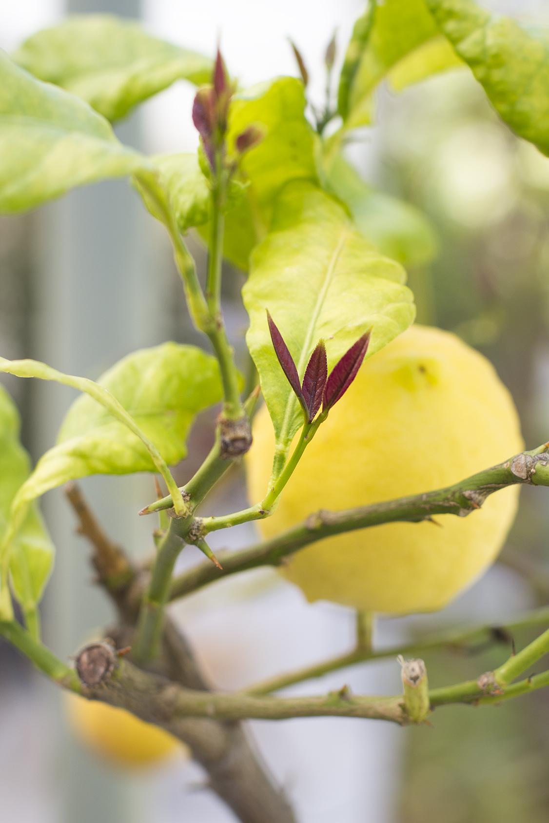 Photo citrons jardin La Villa Fabuli