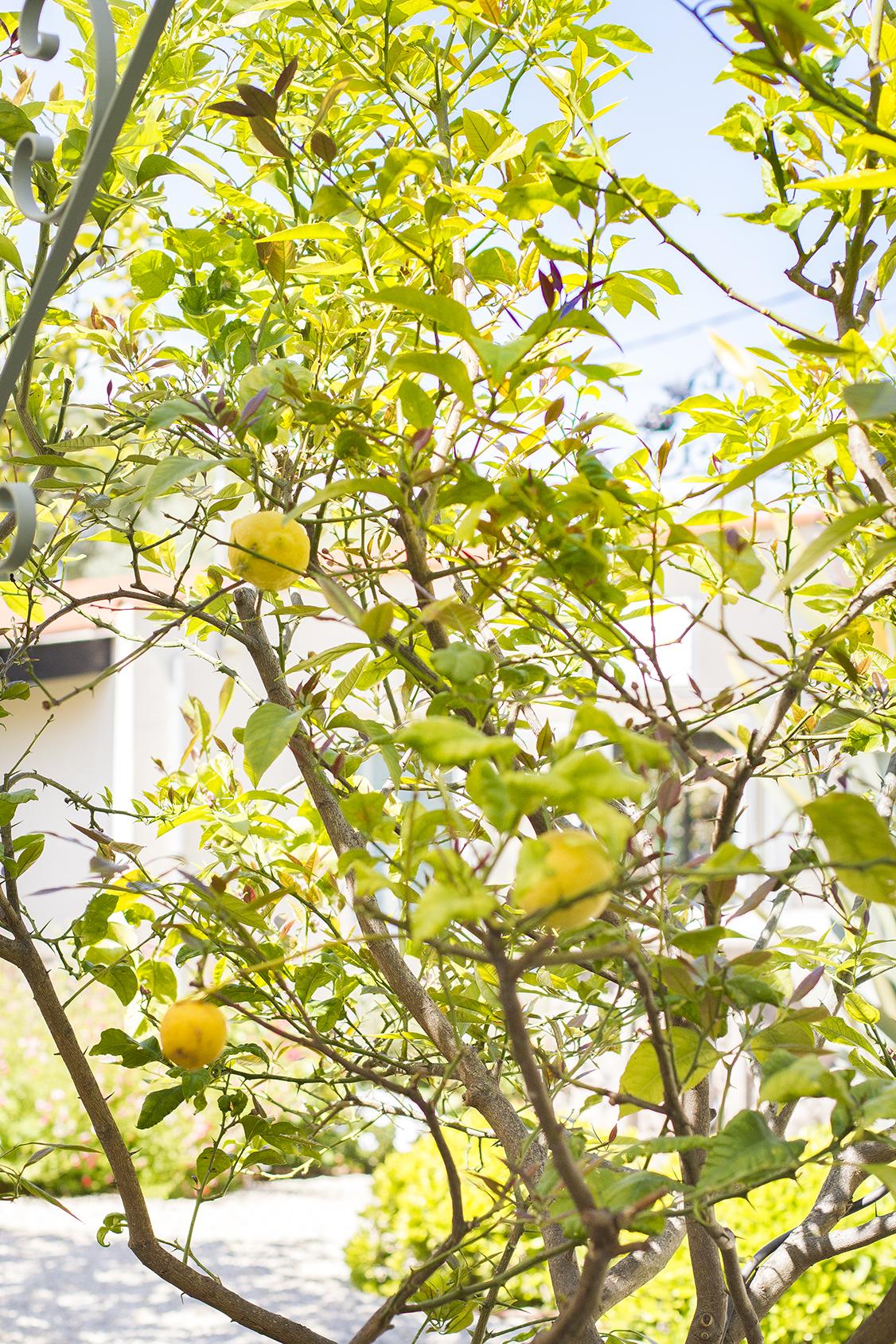 Photo citronnier jardin hôtel