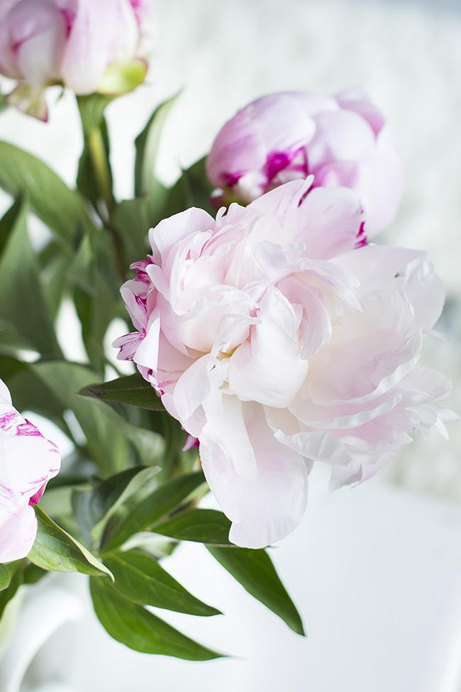 Photo pivoine rose