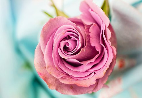 rose-3142529__340.jpg