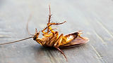 AAI-Pest-Control-What-do-dead-roaches-in