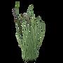 EchinochloaCrus-Galli.png