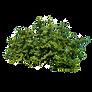Green-Bush_t.png