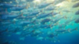 Group of Tuna fish in sea..jpg