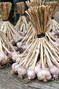 Hardneck Garlic Gully Ridge Farms Garlic | Fresh local garlic buy now Ontario