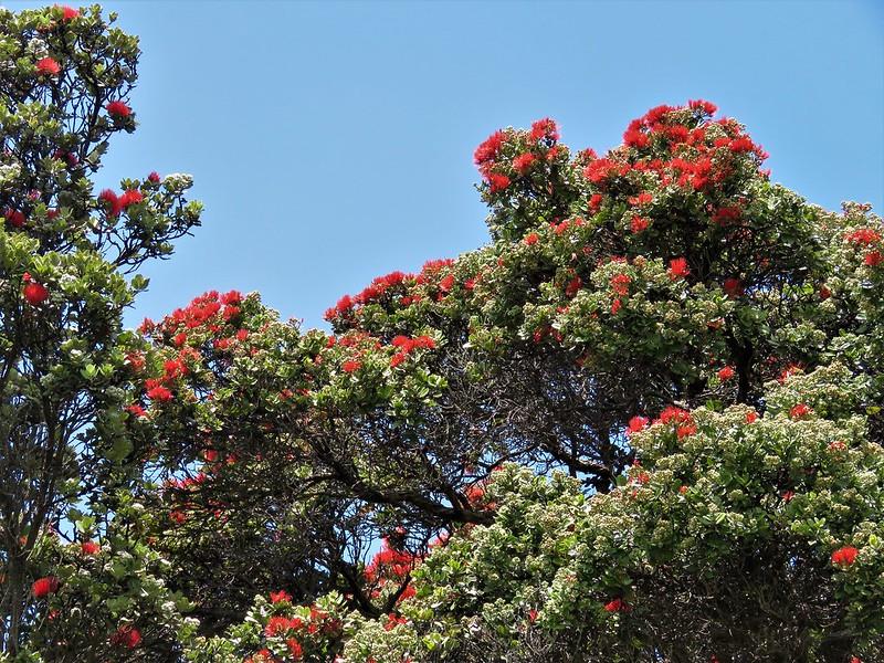 Ohia Lehua Trees in Full Bloom