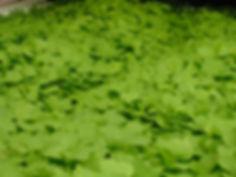 Arugula mature.jpg