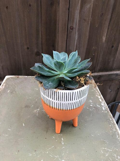 Orange Stripe Succulent Arrangement