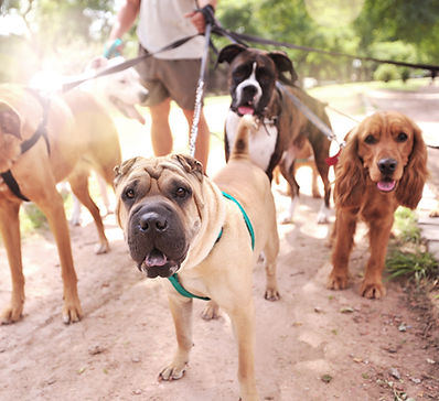 Dog walker, volunteer