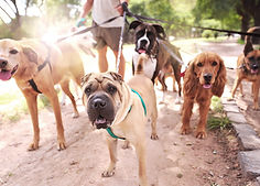 A Dog trainer is walking a large pack of mix breed dogs through a park on a sunny day.
