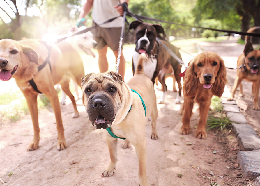 Five dogs are on a walk and are looking at the camera