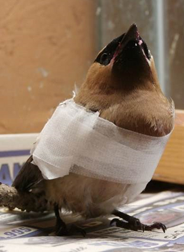 Picture1 waxwing wing break.png