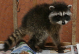 Picture1 raccoon.png