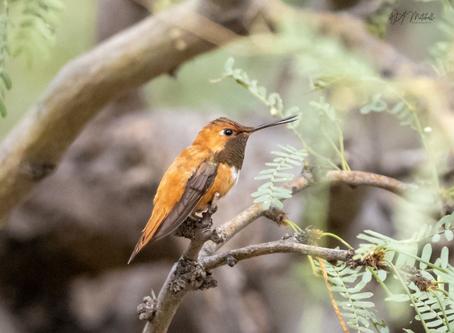 Tortolita Preserve Bird Survey-Bird Watchers Needed