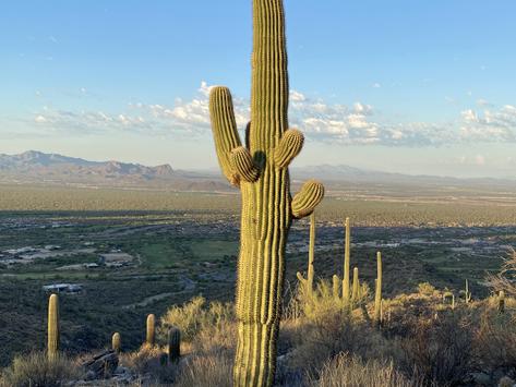 Save Our Saguaros-Bufflegrass Pull