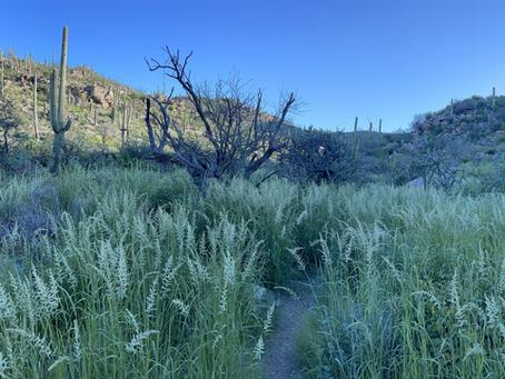 Soft Feather Pappusgrass Invasion