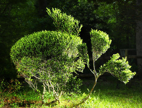 topiary_shrub2.jpg