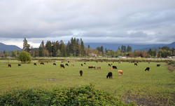 1280px-Cattle_near_grants_pass