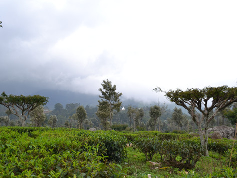 Как я провел 10 дней на Шри-Ланке: сбитая корова, чайные плантации, киты и отель в облаках.