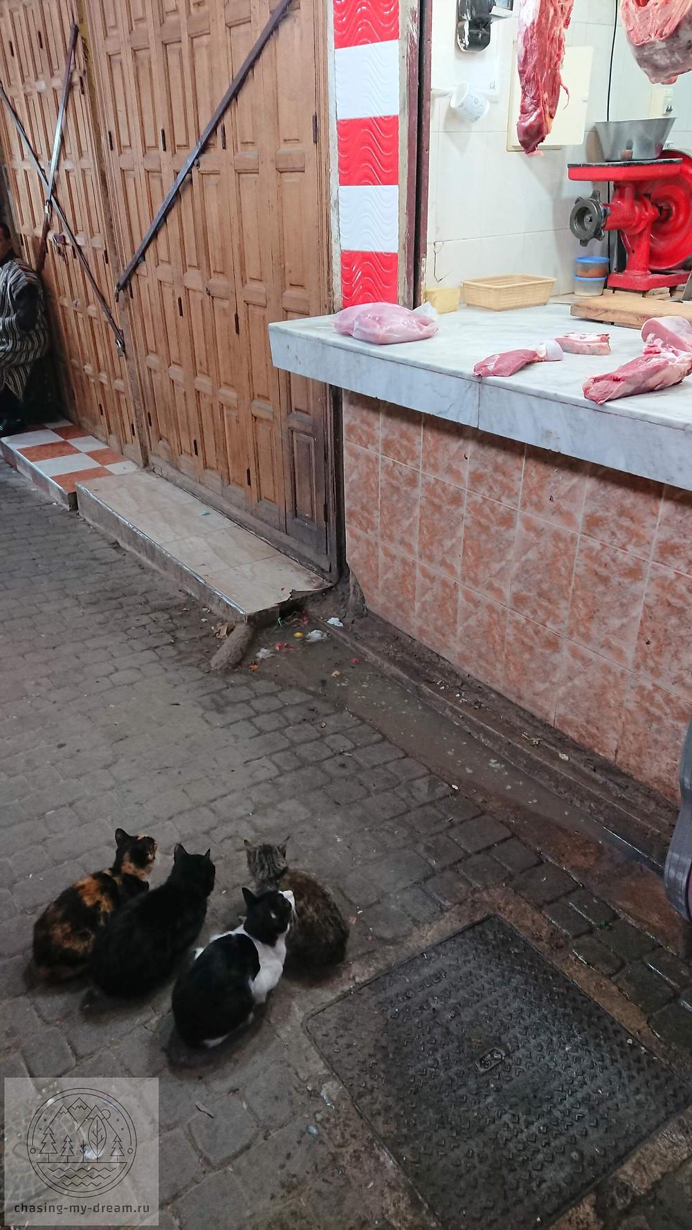 голодные коты в Фесе, Марокко