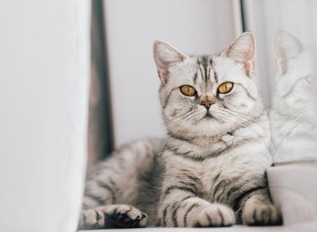 Doença da arranhadura do gato: saiba o que é e como prevenir