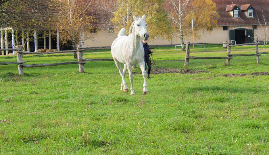 Pferd wird auf Koppel gebracht