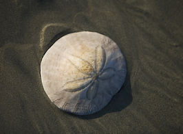 Sand Dollar.jpg