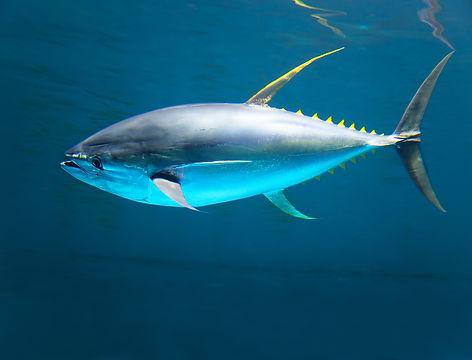 Seafood, Grenada, SIFH, Spice Isle, Yellow Fin Tuna