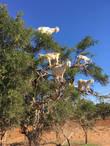 Kozy na arganovém stromě