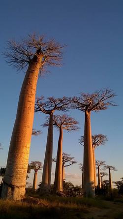 Západ slunce u baobabů