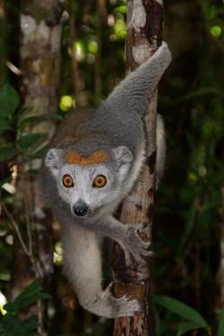 Zvědavý lemur