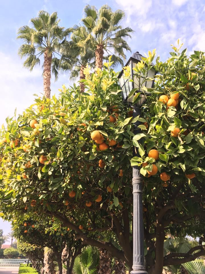 Pomeranče v prosinci