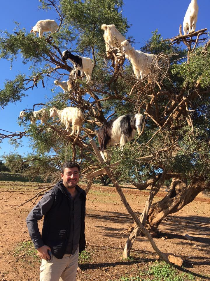 Známé kozy na stromě