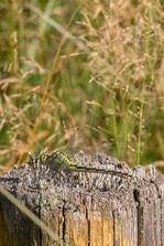 Grüne Flussjungfer (Weibchen)