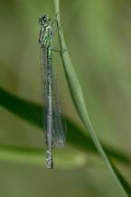 Speer Azurjungfer (Weibchen)
