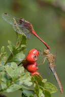 Südliche Heidelibelle (Weibchen)