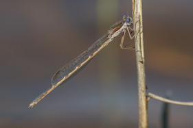 Gemeine Winterlibelle (Männchen)
