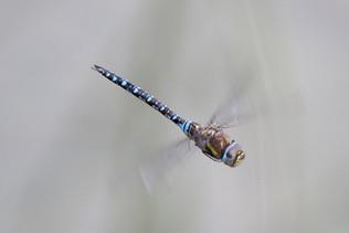 Herbst Mosaikjungfer (Männchen)