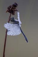 Schwarze Heidelibelle (Männchen)