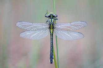 Gemeine Keiljungfer (Weibchen)