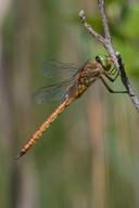 Keilflecklibelle (Weibchen)