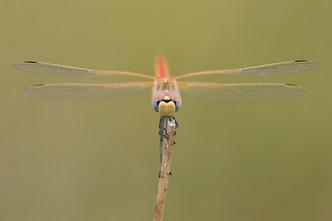 Frühe Heidelibelle (Männchen)