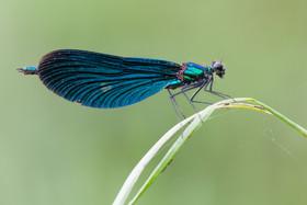 Blauflügel Prachtlibelle (Männchen)