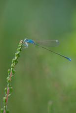Zwerglibelle (Männchen)