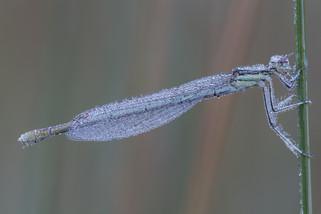 Gemeine Federlibelle (Weibchen)