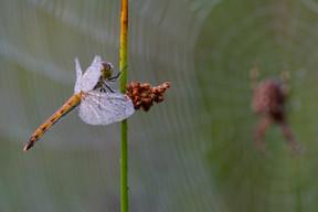 Sumpf Heidelibelle (Weibchen)