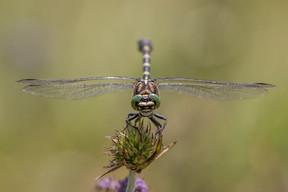 Kleine Zangenlibelle (Männchen)